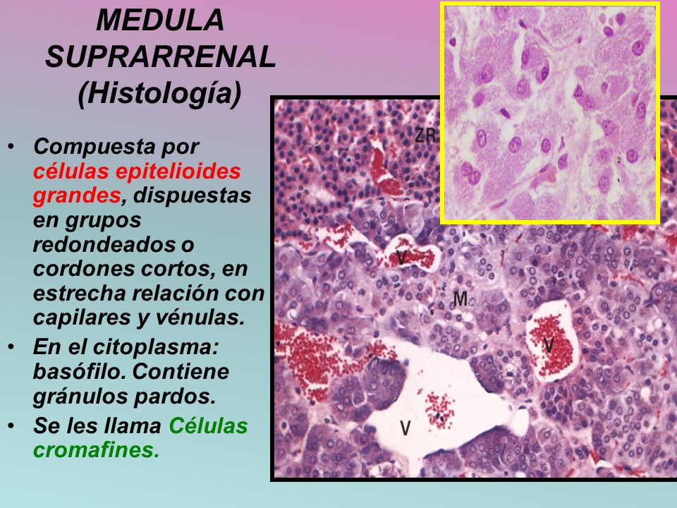 MEDULA SUPRARRENAL (Histología)