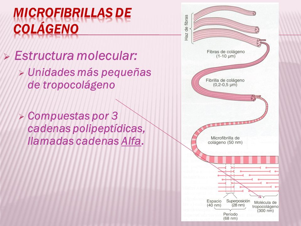 Microfibrillas de colágeno