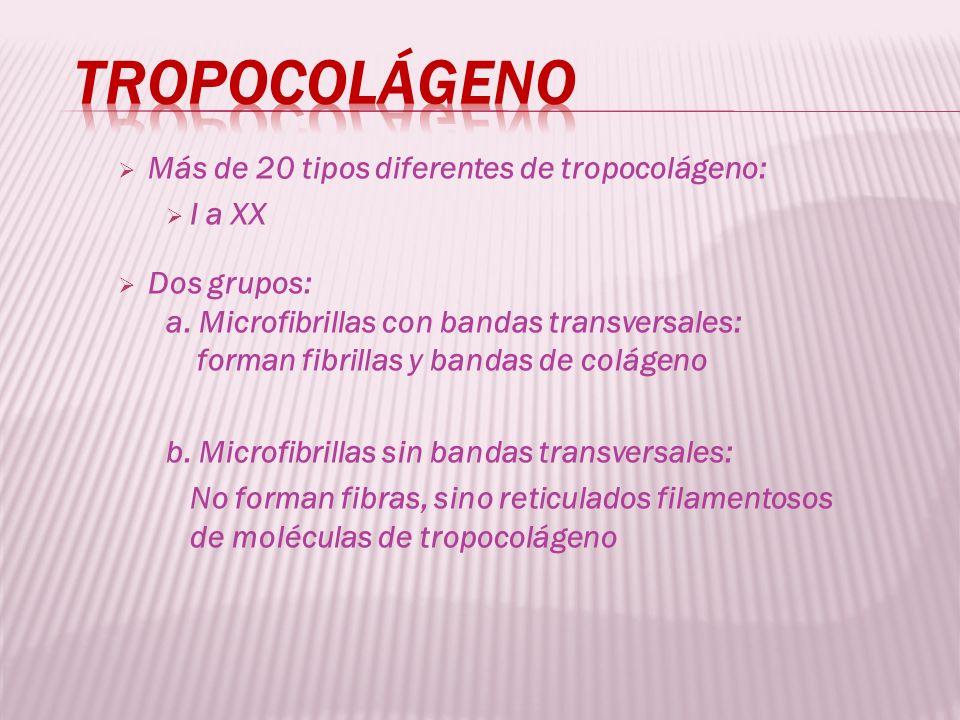 Tropocolágeno Más de 20 tipos diferentes de tropocolágeno: I a XX