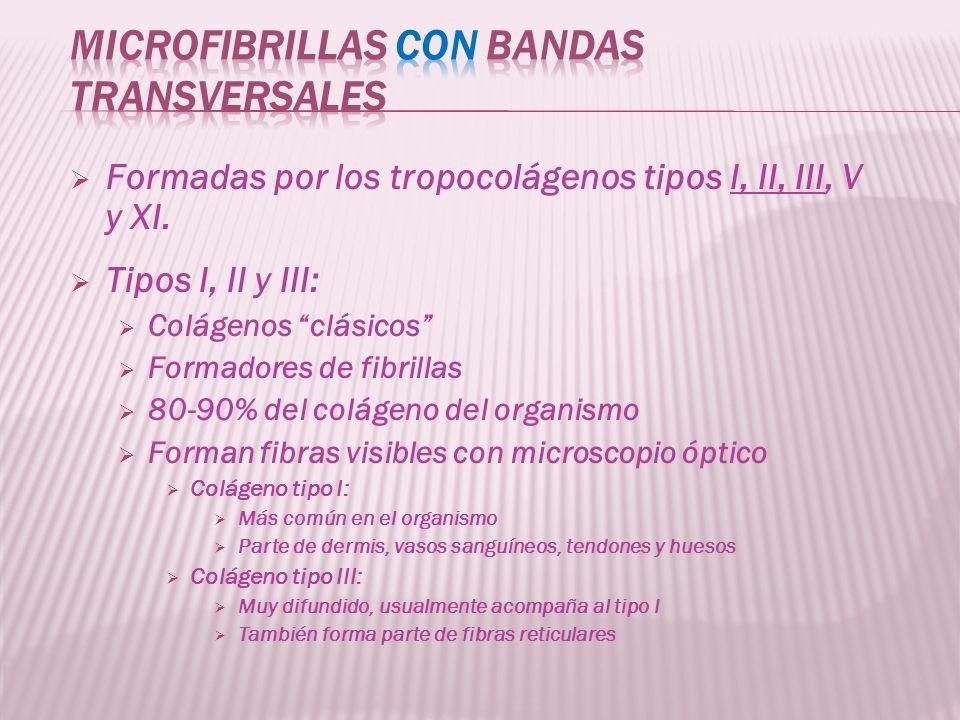microfibrillas con bandas transversales