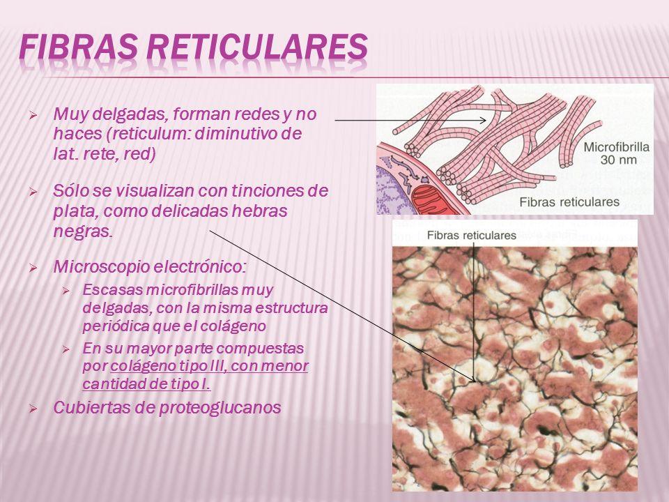 Fibras reticulares Muy delgadas, forman redes y no haces (reticulum: diminutivo de lat. rete, red)