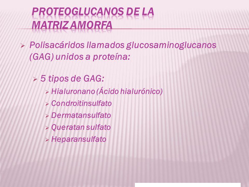 Proteoglucanos de la matriz amorfa