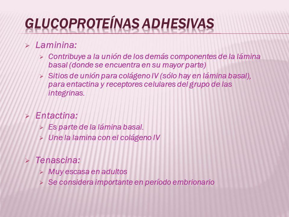 Glucoproteínas adhesivas