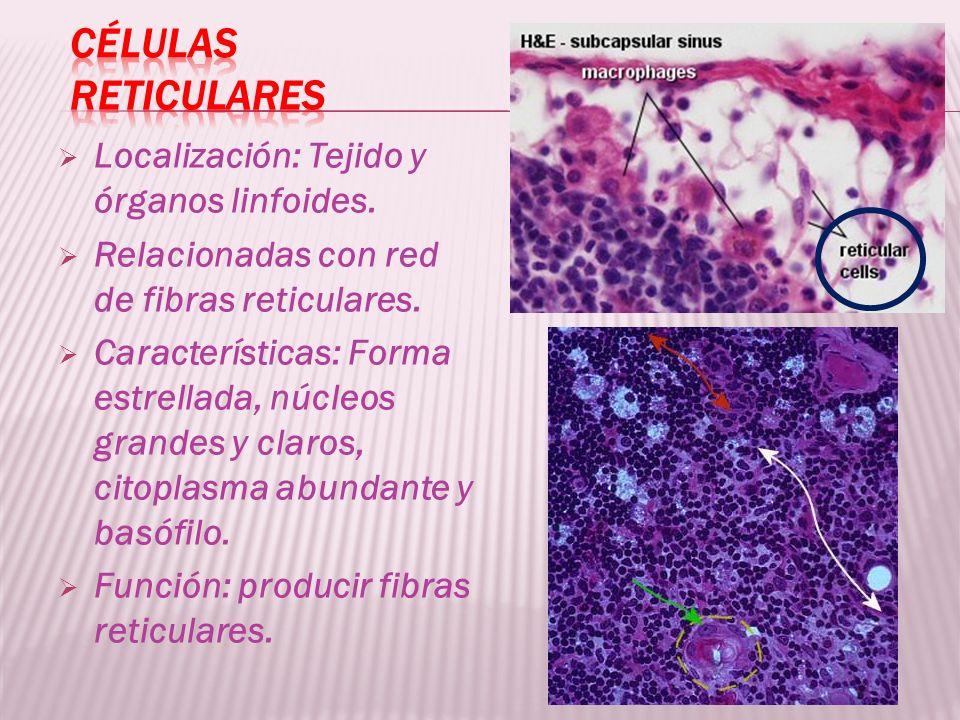Células Reticulares Localización: Tejido y órganos linfoides.