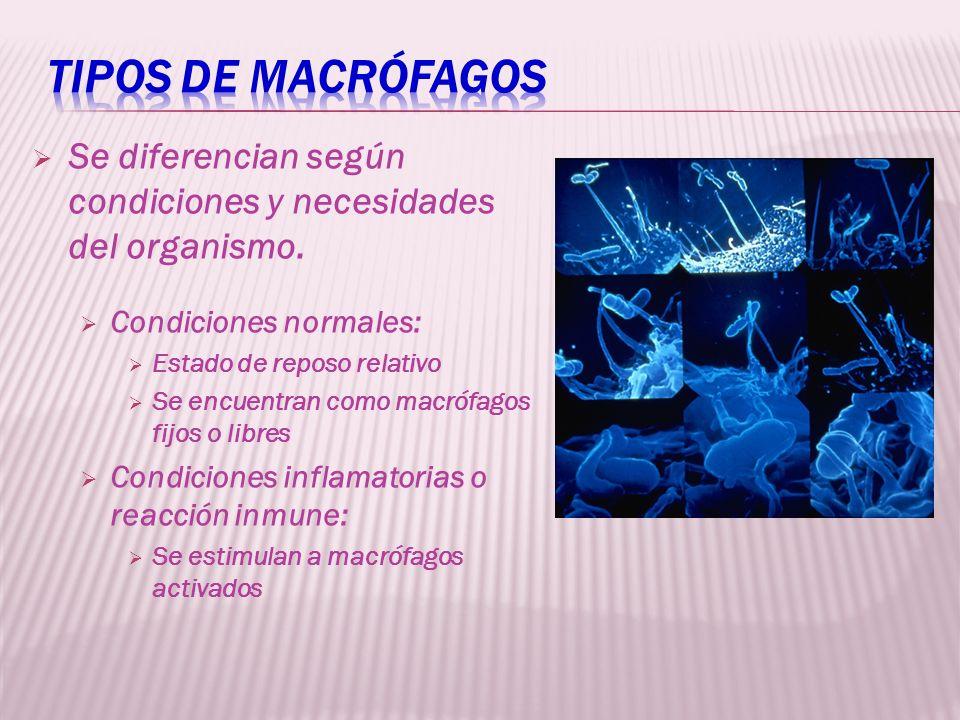 Tipos de macrófagos Se diferencian según condiciones y necesidades del organismo. Condiciones normales: