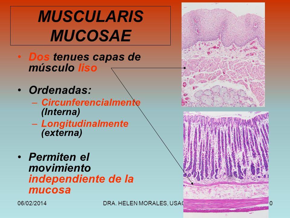 MUSCULARIS MUCOSAE Dos tenues capas de músculo liso Ordenadas: