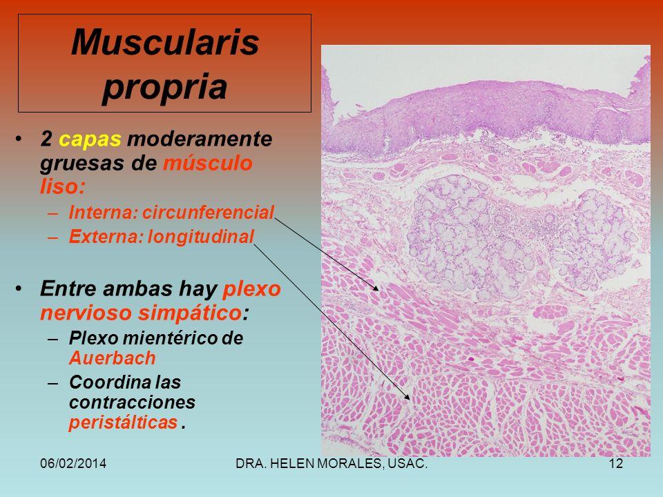 Muscularis propria 2 capas moderamente gruesas de músculo liso: