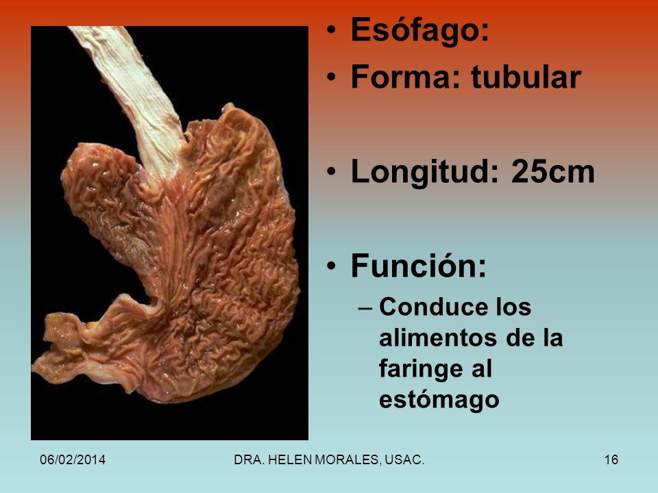 Esófago: Forma: tubular Longitud: 25cm Función: