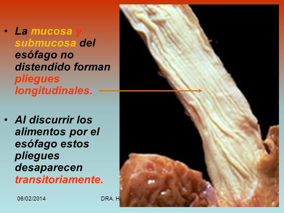 La mucosa y submucosa del esófago no distendido forman pliegues longitudinales.