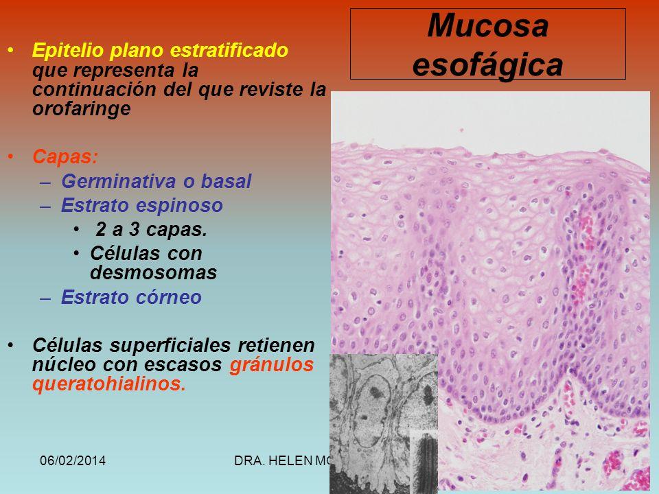 Mucosa esofágica Epitelio plano estratificado que representa la continuación del que reviste la orofaringe.