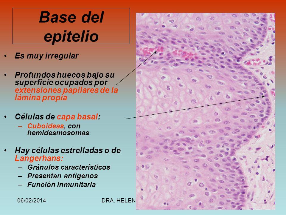 Base del epitelio Es muy irregular