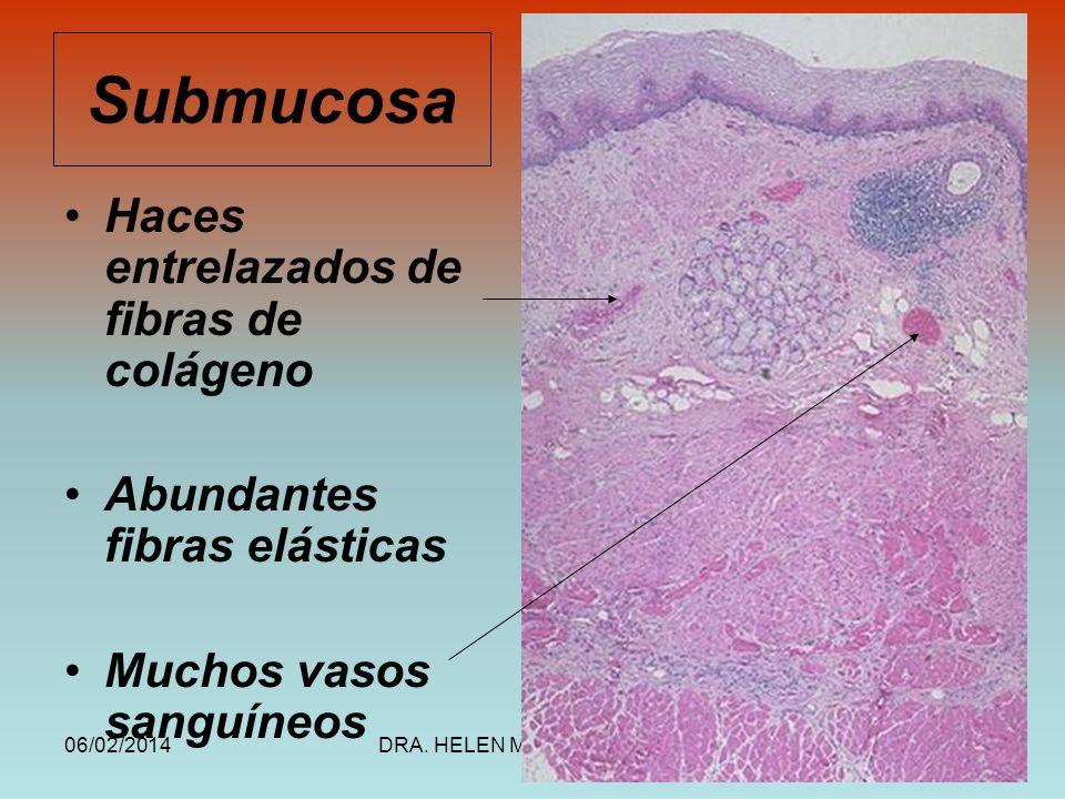 Submucosa Haces entrelazados de fibras de colágeno