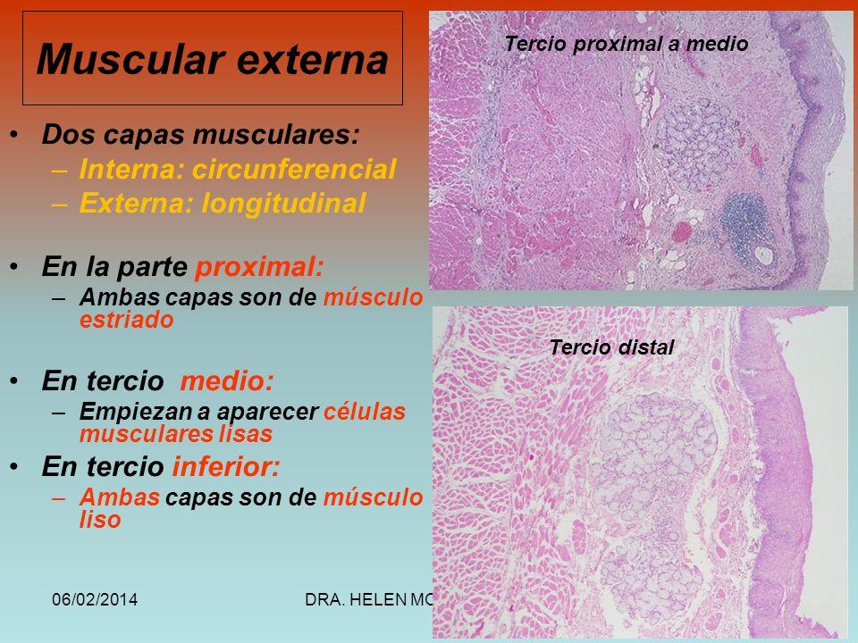 Muscular externa Dos capas musculares: Interna: circunferencial