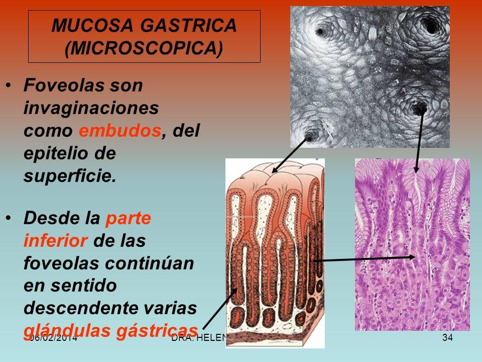 MUCOSA GASTRICA (MICROSCOPICA)