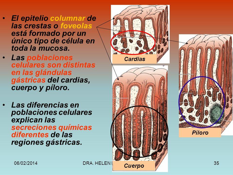 El epitelio columnar de las crestas o foveolas está formado por un único tipo de célula en toda la mucosa.