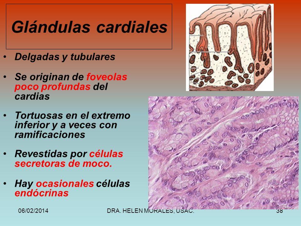 Glándulas cardiales Delgadas y tubulares