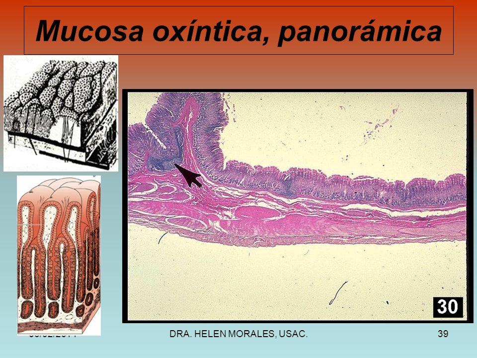 Mucosa oxíntica, panorámica
