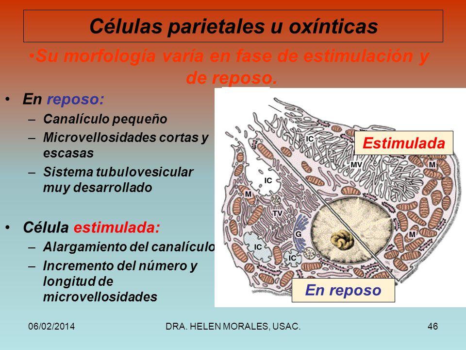 Células parietales u oxínticas