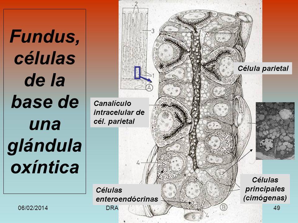 Fundus, células de la base de una glándula oxíntica
