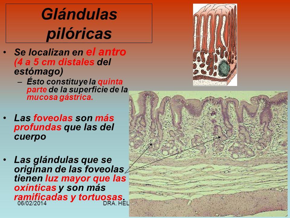 Glándulas pilóricasSe localizan en el antro (4 a 5 cm distales del estómago) Ésto constituye la quinta parte de la superficie de la mucosa gástrica.