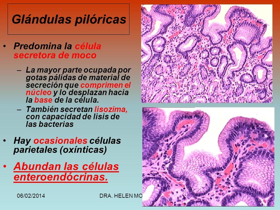 Glándulas pilóricas Abundan las células enteroendócrinas.