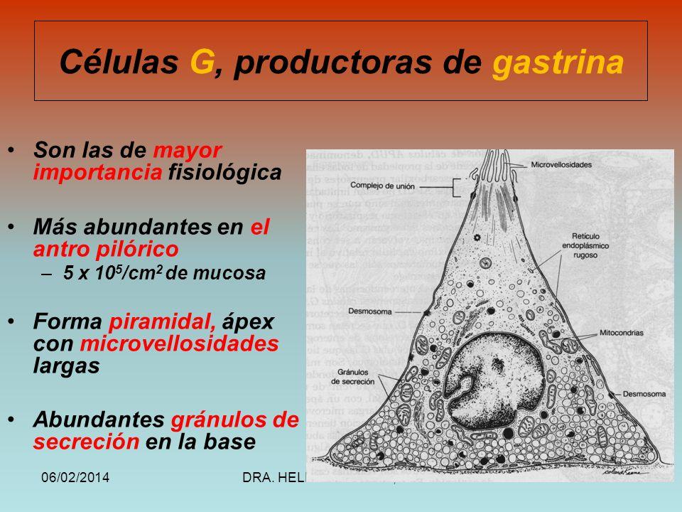 Células G, productoras de gastrina