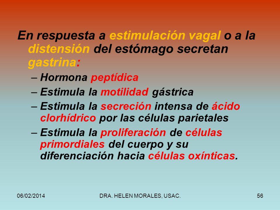 En respuesta a estimulación vagal o a la distensión del estómago secretan gastrina: