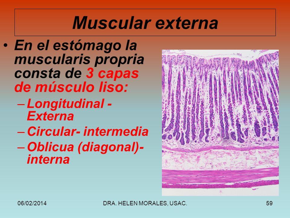 Muscular externa En el estómago la muscularis propria consta de 3 capas de músculo liso: Longitudinal -Externa.