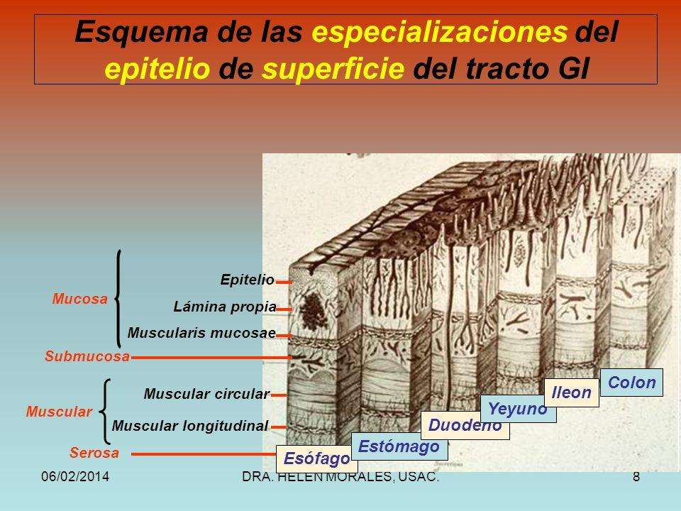 Esquema de las especializaciones del epitelio de superficie del tracto GI