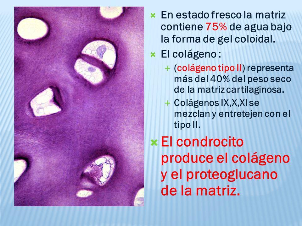 El condrocito produce el colágeno y el proteoglucano de la matriz.