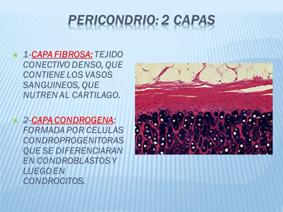 PERICONDRIO: 2 capas 1-CAPA FIBROSA: TEJIDO CONECTIVO DENSO, QUE CONTIENE LOS VASOS SANGUINEOS, QUE NUTREN AL CARTILAGO.