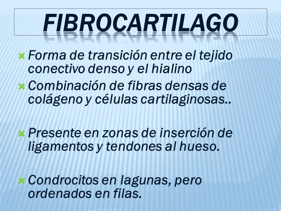 FIBROCARTILAGO Forma de transición entre el tejido conectivo denso y el hialino. Combinación de fibras densas de colágeno y células cartilaginosas..