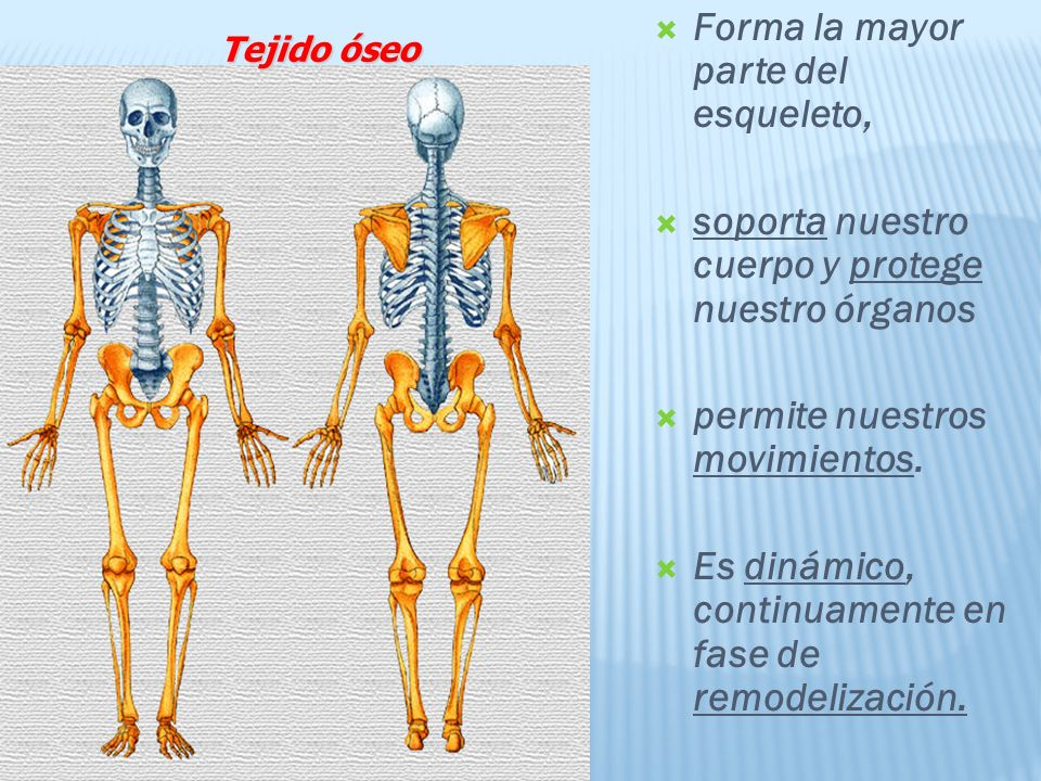 Forma la mayor parte del esqueleto,
