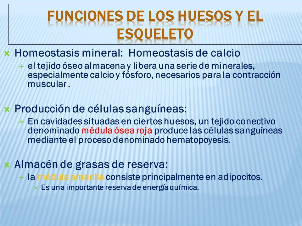 Funciones de los huesos y el esqueleto