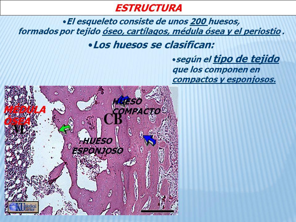 ESTRUCTURA Los huesos se clasifican: