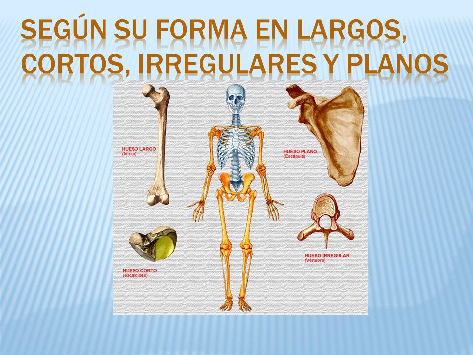 Según su forma en largos, cortos, irregulares y planos