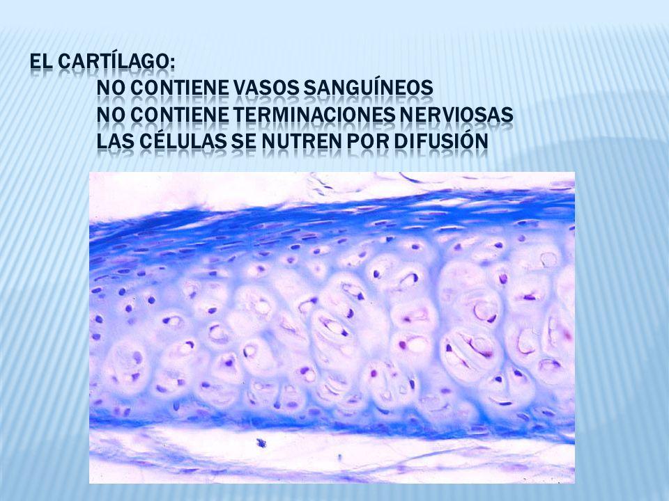 El cartílago:. No contiene vasos sanguíneos