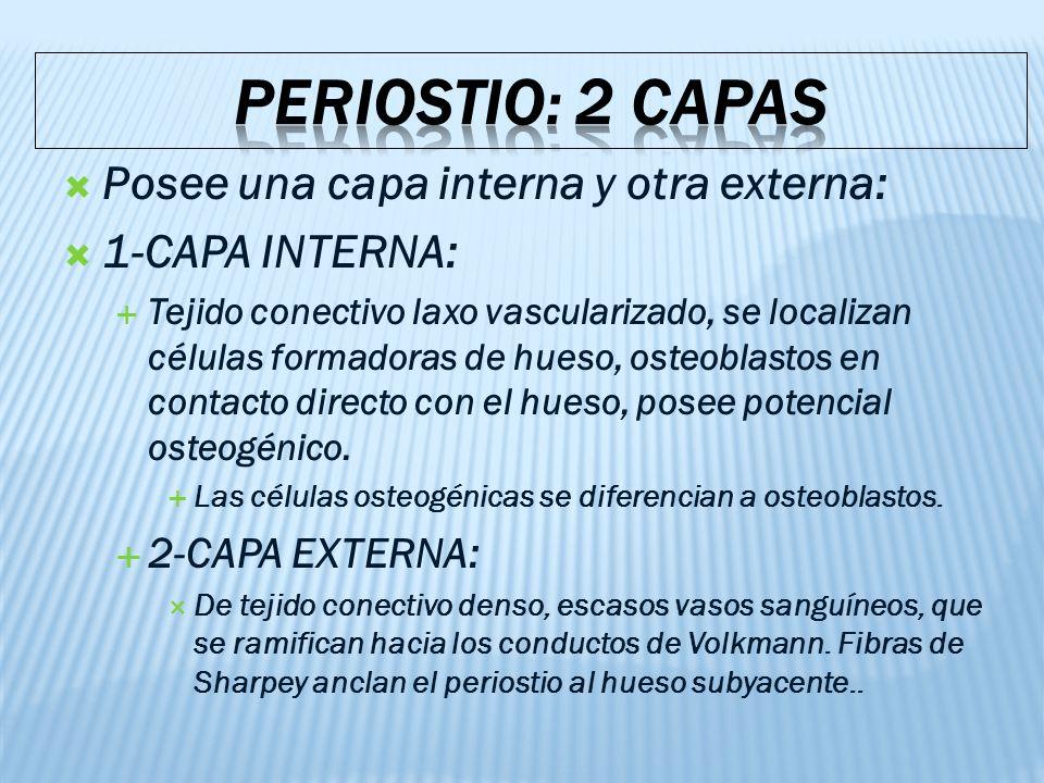 PERIOSTIO: 2 CAPAS Posee una capa interna y otra externa: