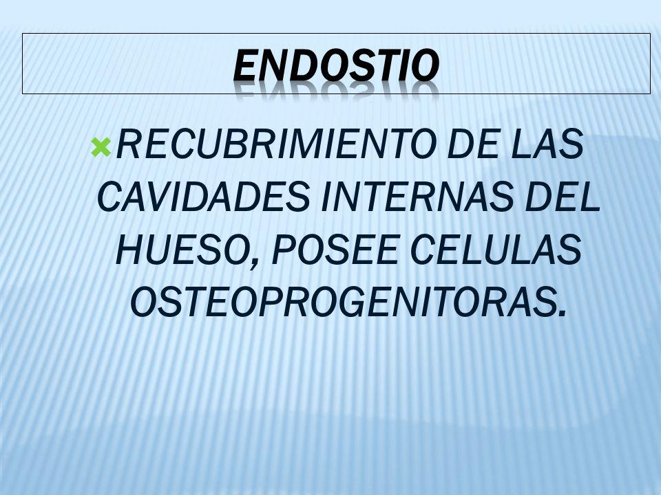 ENDOSTIO RECUBRIMIENTO DE LAS CAVIDADES INTERNAS DEL HUESO, POSEE CELULAS OSTEOPROGENITORAS.