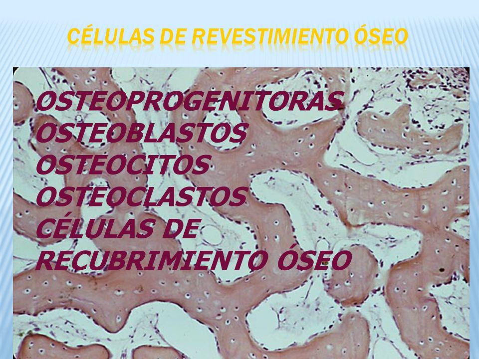 CÉLULAS DE REVESTIMIENTO ÓSEO