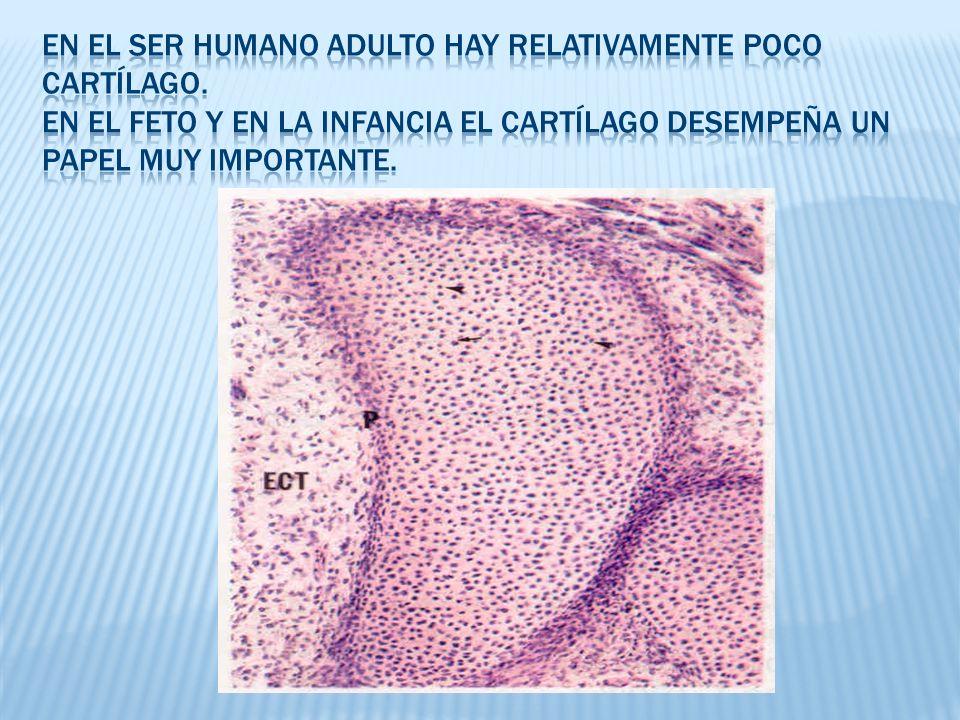 En el ser humano adulto hay relativamente poco cartílago