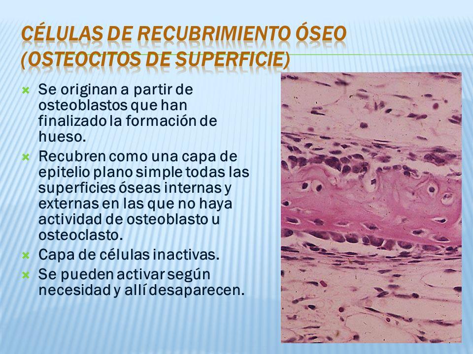 Células de recubrimiento óseo (osteocitos de superficie)