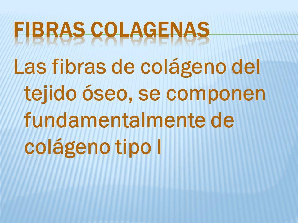 fibRAS COLAGENAS Las fibras de colágeno del tejido óseo, se componen fundamentalmente de colágeno tipo I.