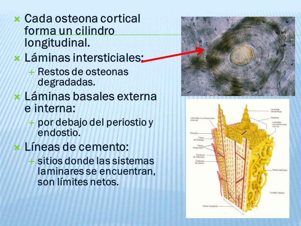 Cada osteona cortical forma un cilindro longitudinal.