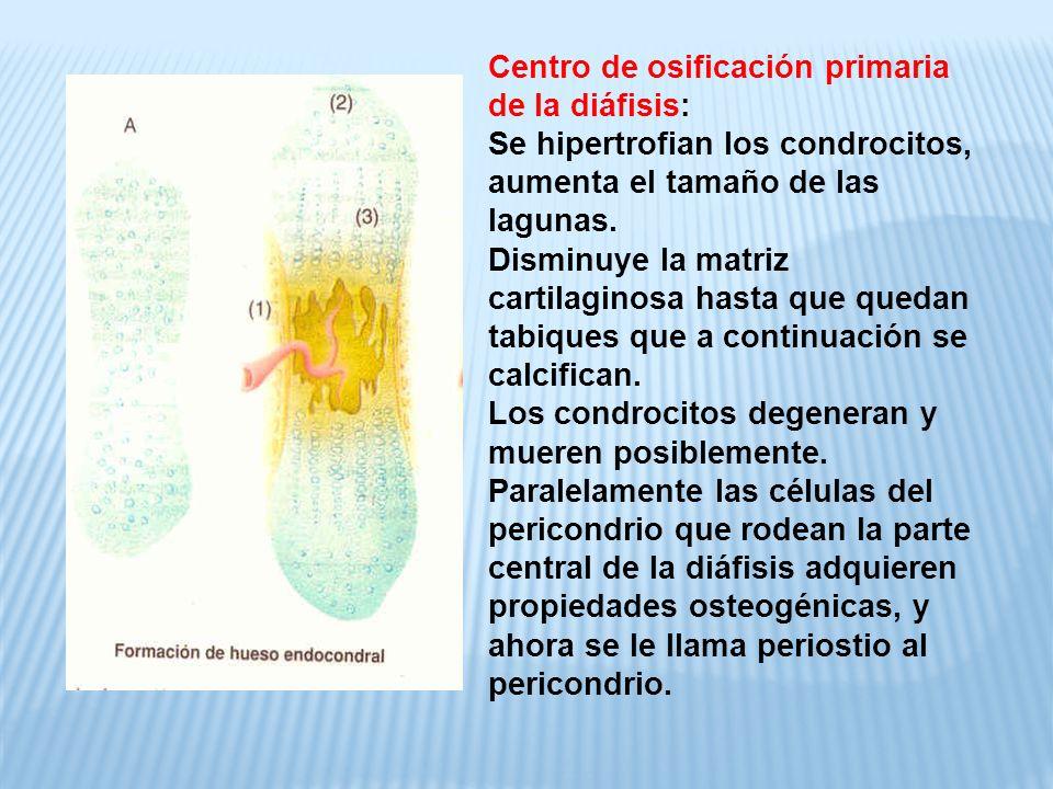 Centro de osificación primaria de la diáfisis: