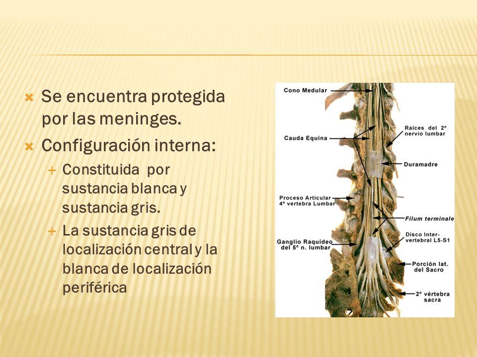 Se encuentra protegida por las meninges. Configuración interna: