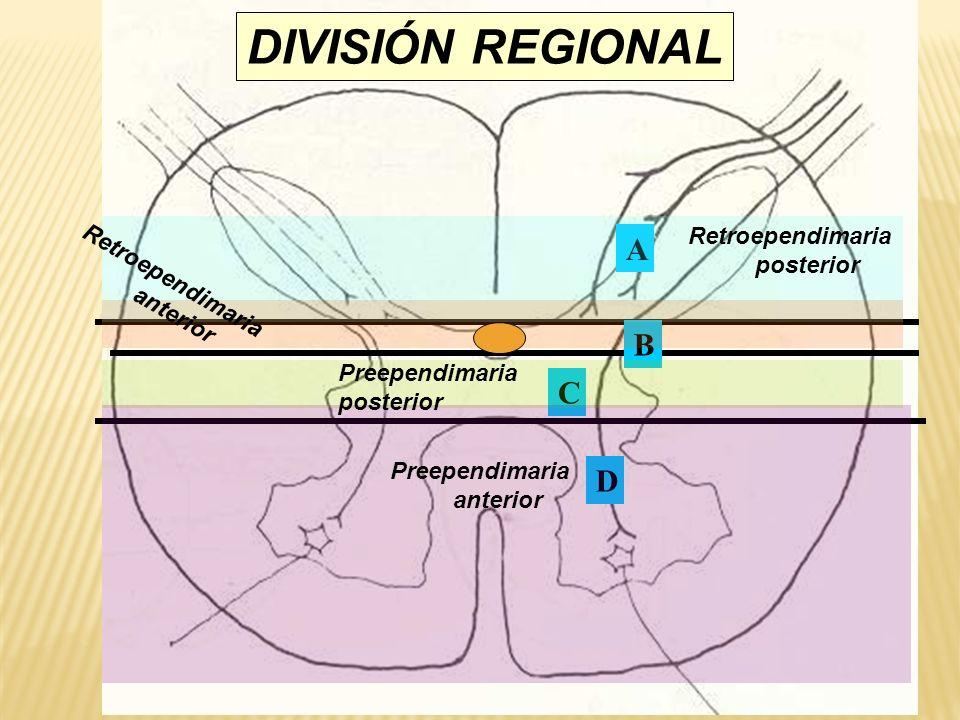 DIVISIÓN REGIONAL A B C D Retroependimaria posterior