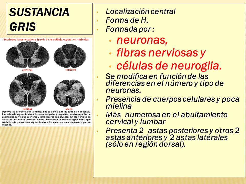 SUSTANCIA GRIS neuronas, fibras nerviosas y células de neuroglia.