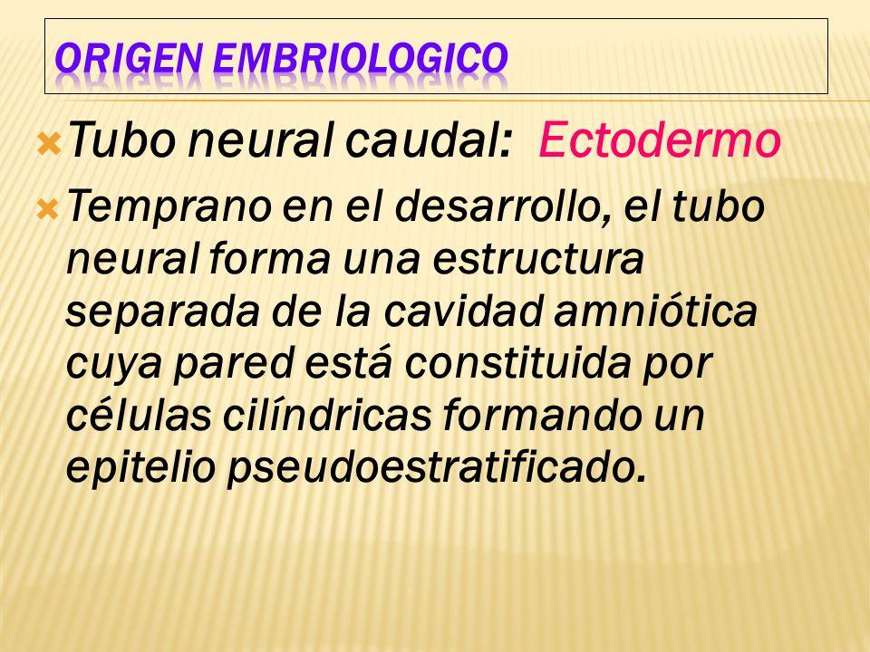 Tubo neural caudal: Ectodermo