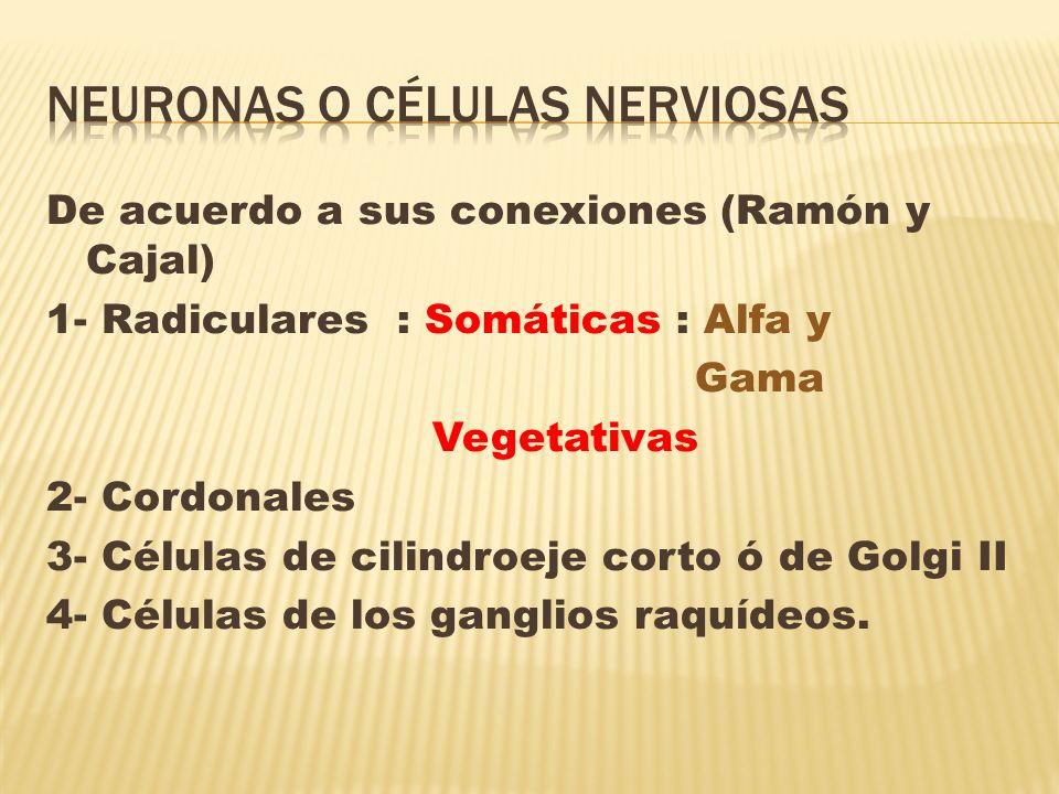 NEURONAS O CÉLULAS NERVIOSAS